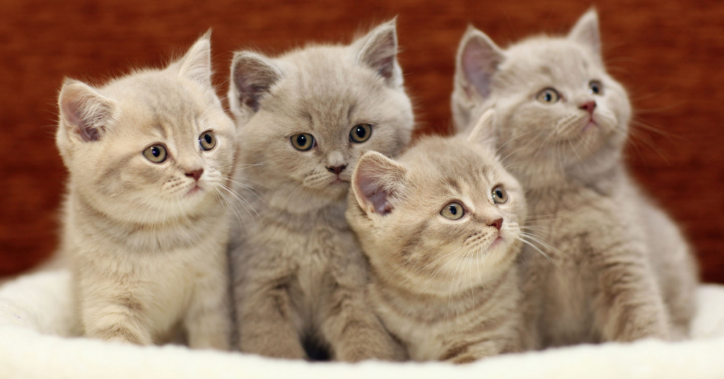 how to become a cat breeder